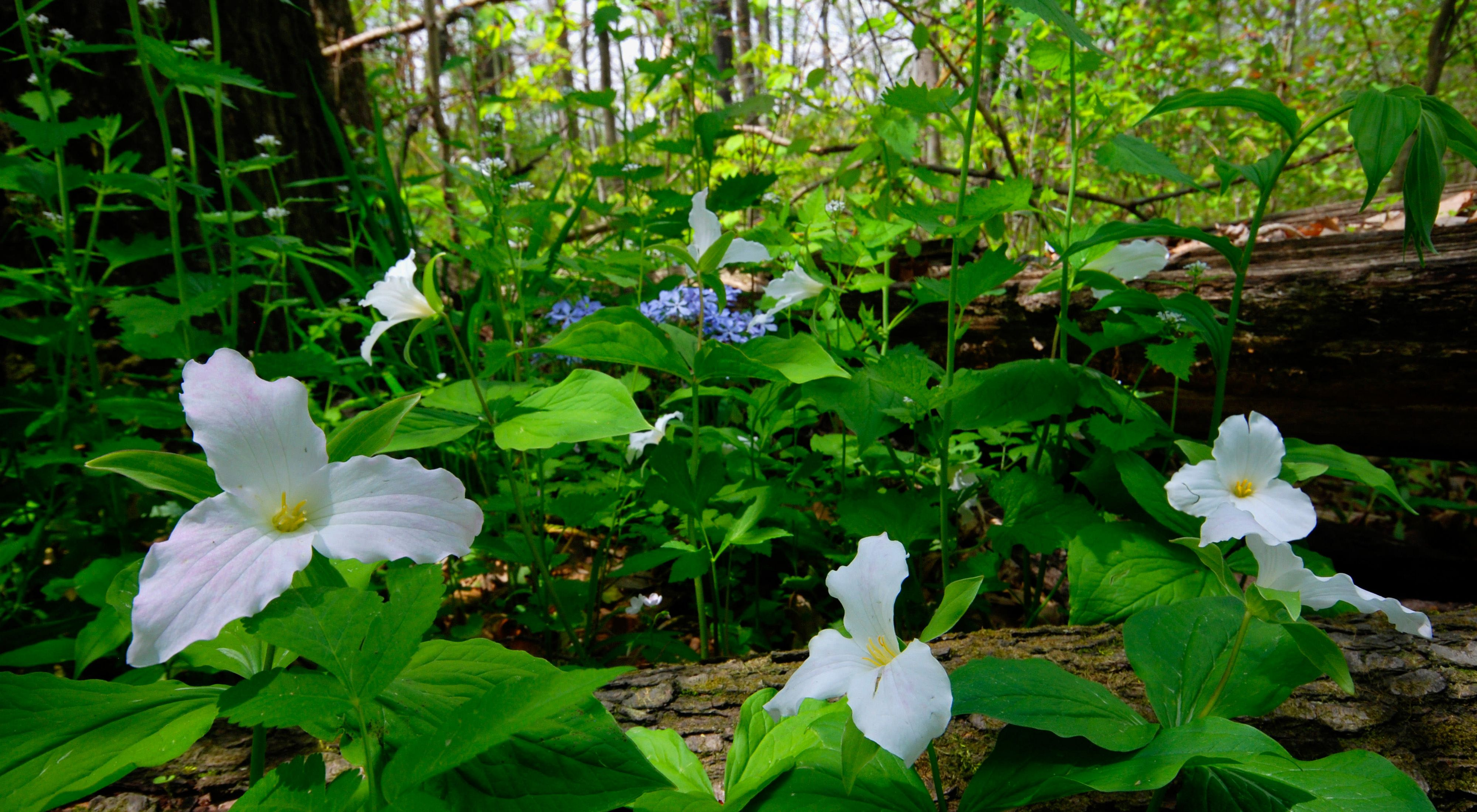 Large, white, three-petaled flowers sit atop spring-green foliage along the forest floor.