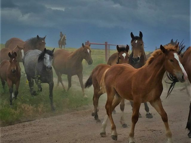 Mares and colts driven to pasture.