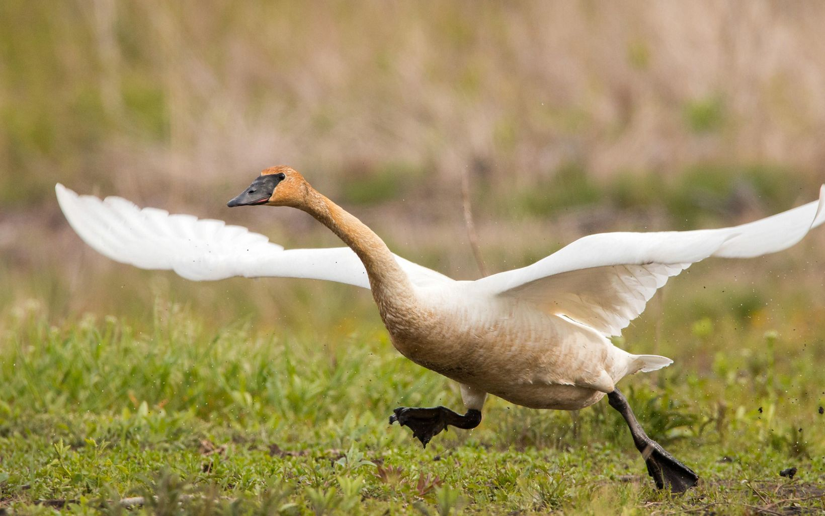 Large white swan with wings outspread and mud-stained head runs in preparation to take off and fly.