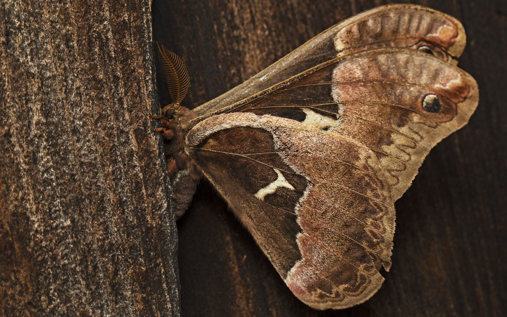 Profile view of tulip tree moth on wood structure