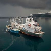 Large tuna purse seine fishing boats in Pohnpeian waters off-loading their tuna catches to trampers that will keep the tuna frozen and transport the tuna to ports in China and Japan.