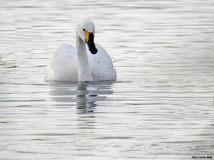 A tundra swan swimming on silver water.