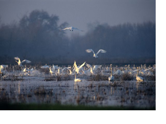 Flock of large white swans in a wetland, some sitting on the water and others coming in for a landing.