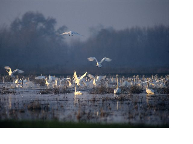 Thousands of tundra swans feed and loaf in wetlands during migration.