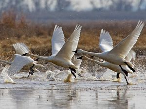 Tundra swans take flight from the water.
