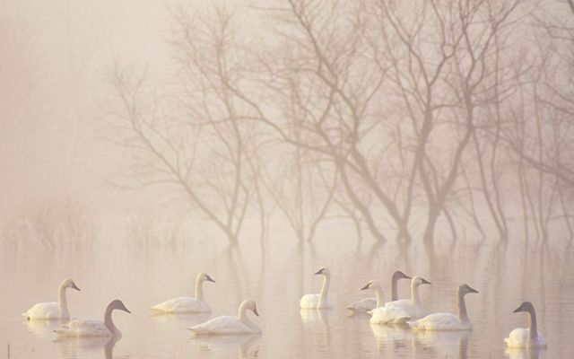 Swans float on water in mist.