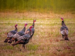 Group of 4 turkeys in a field looking at lone turkey