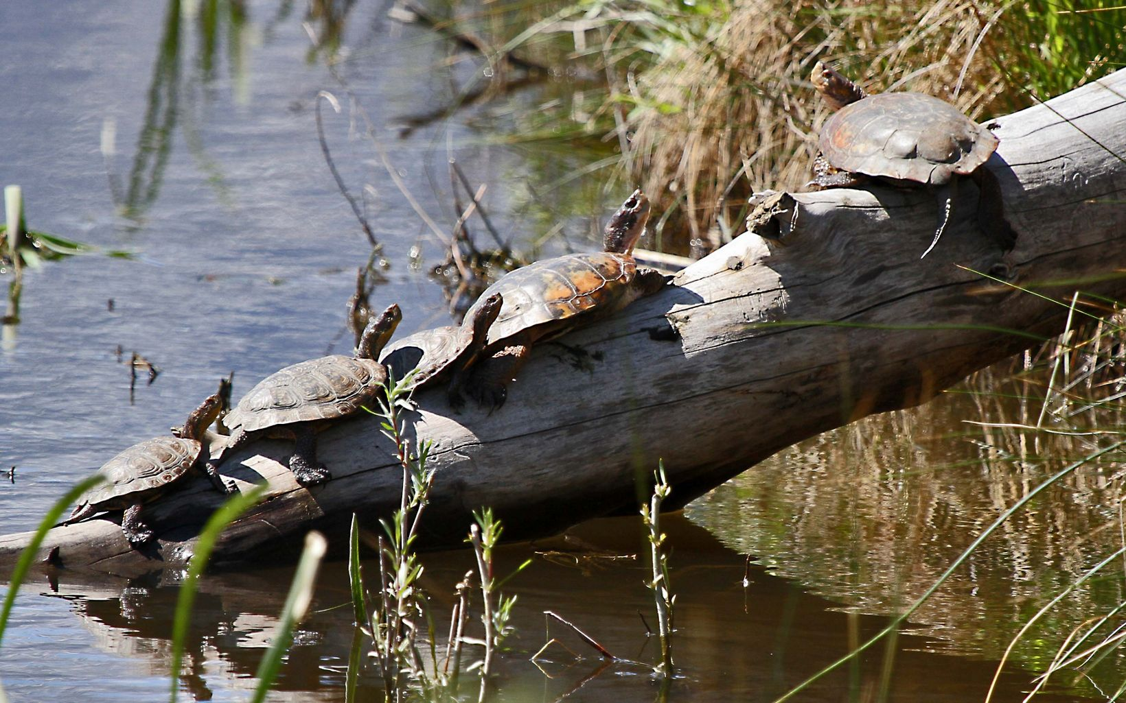 The Western Pond Turtle lives in northwest Nevada in perennial water bodies, which are fed by groundwater, like the Truckee and Carson Rivers or nearby ponds.
