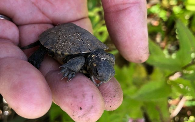 A Blanding's turtle hatchling sitting in someone's hand barely covers two fingers.