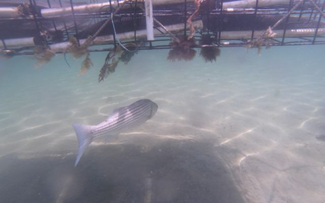 Underwater photo of a striped fish swimming under an oyster cage.