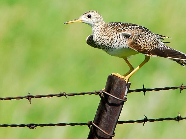 Close-up view of an Upland sandpiper on a fence post.