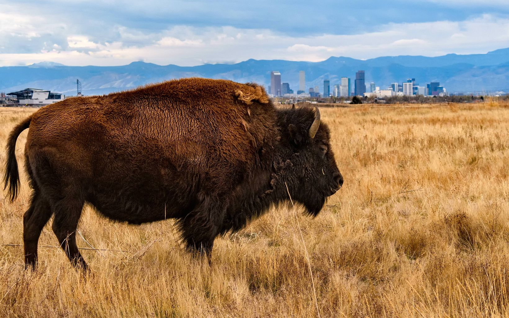 This bison image was taken in the Rocky Mountain Arsenal National Wildlife Refuge in Commerce City, CO, which is a suburb about 15 miles NE of Denver.