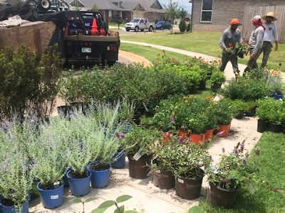Setting out native milkweed and other plants to be used in a Oklahoma housing development.
