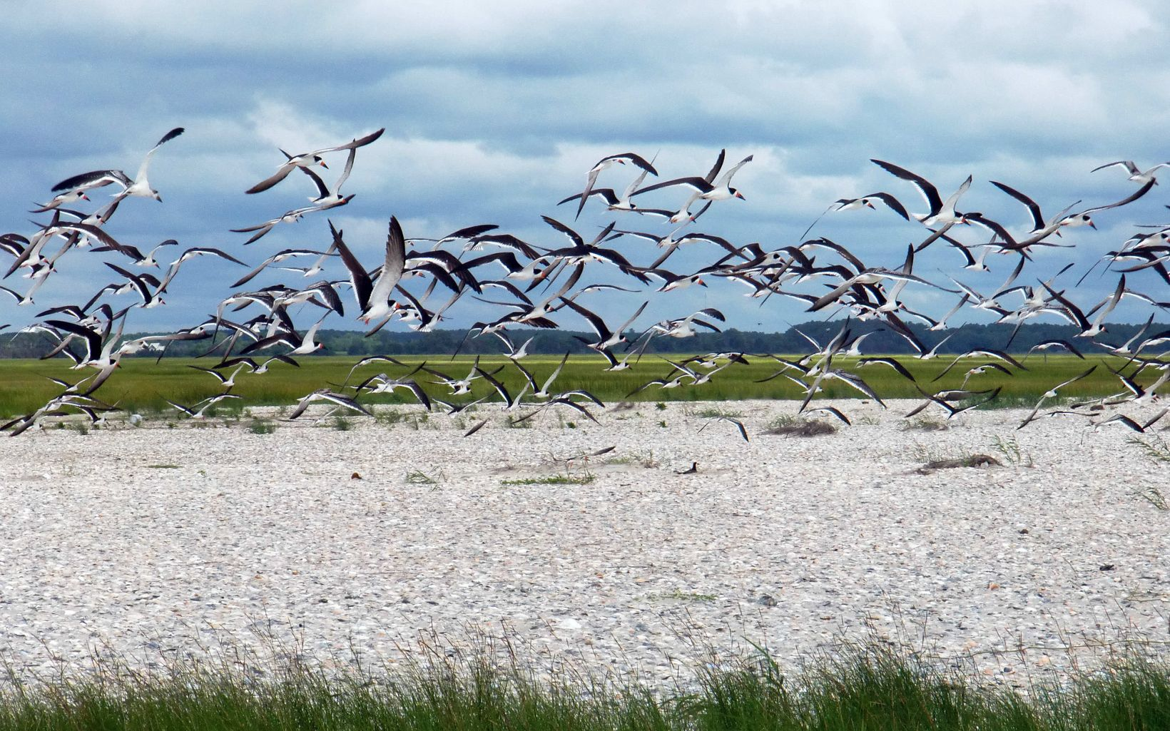 Black skimmers in flight