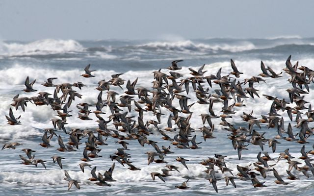 A large group of red knots fly above the Atlantic Ocean surf on a Virginia barrier island.