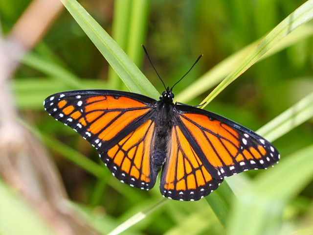 A viceroy butterfly with outstretched wings on a blade of grass.
