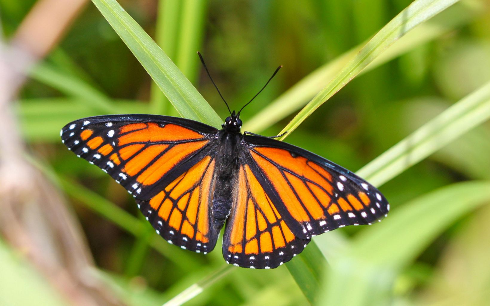 Orange and black butterfly with white dots on green foliage.
