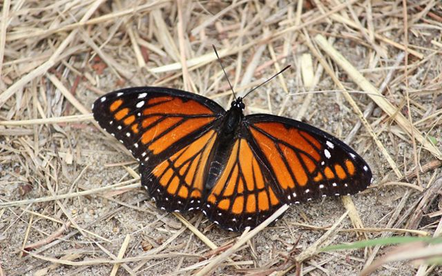An orange and black viceroy butterfly with its wings fully expanded.