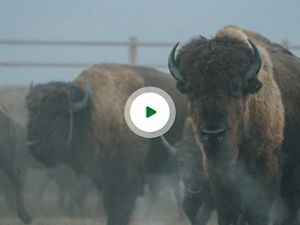 Bison stampede into corrals overlayed with video play button.