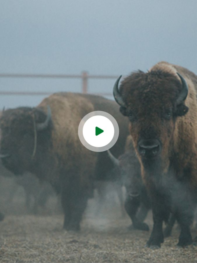 Image of bison with overlaid video play button.