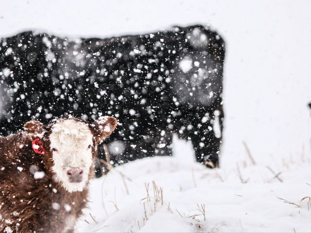 Cows during a March blizzard.
