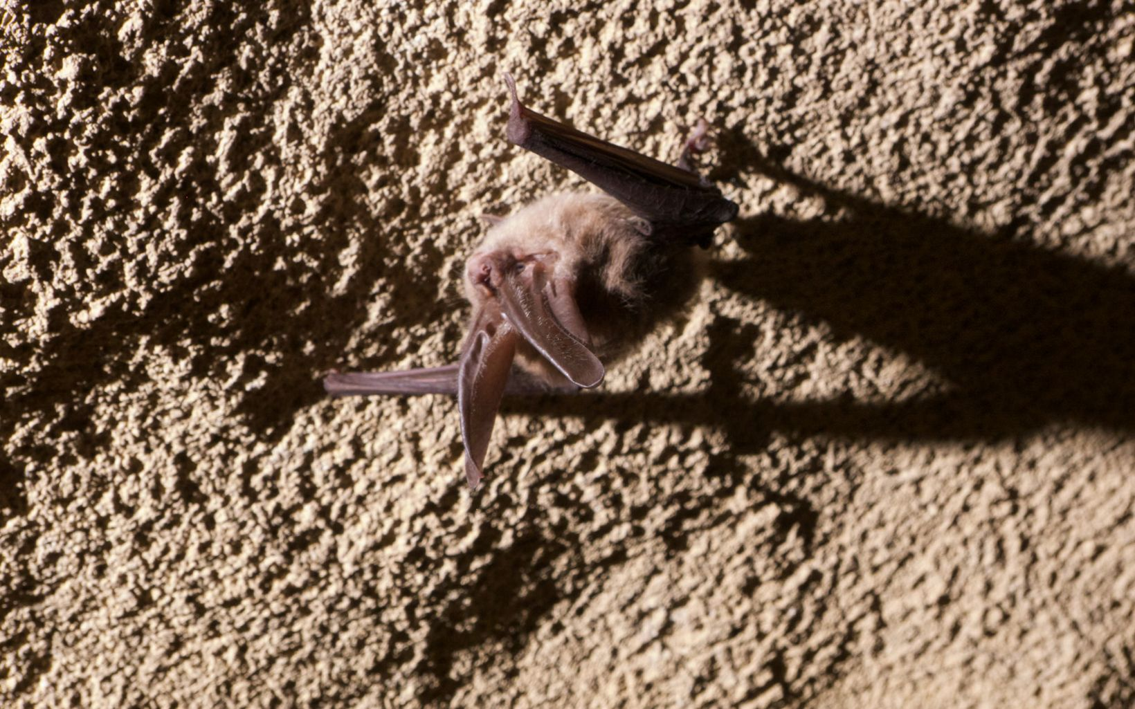 Virginia Big-Eared Bat