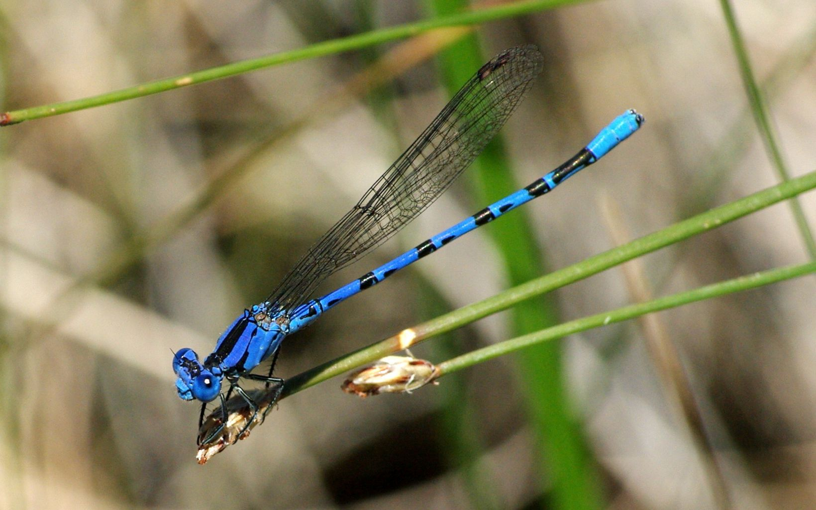 Aquatic insects like the damselfly use GDEs for part of their life cycle.