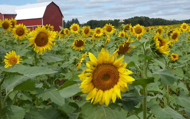 The Vollmer-Sanders farm with sunflowers in full bloom.