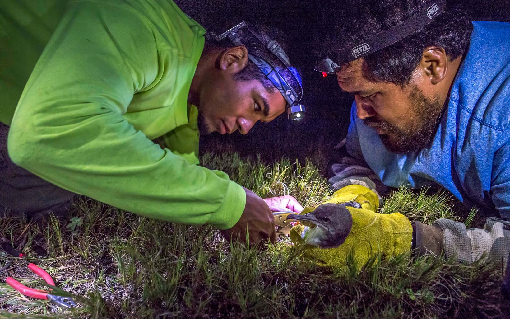 A volunteer holds a bird while another attaches a band