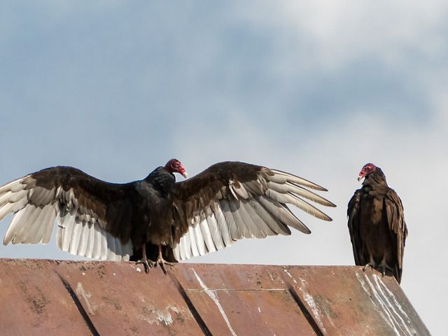 Two black turkey vultures with red heads stand on a red metal roof looking at each other, one with wings fully outspread.