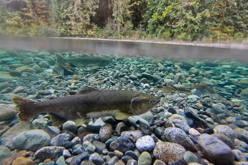 A salmon in a Washington river.