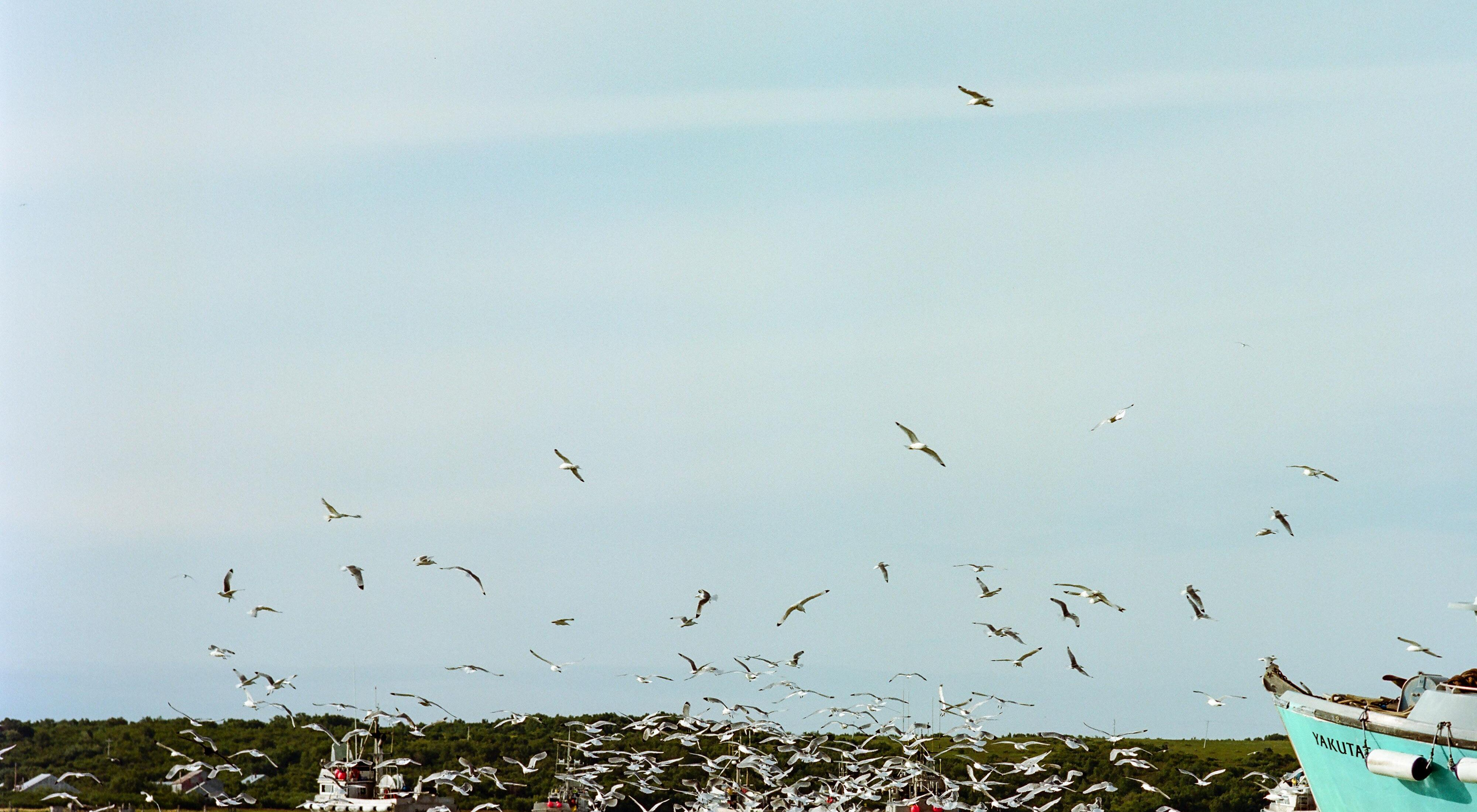 Several salmon fishing boats surrounded by gulls.