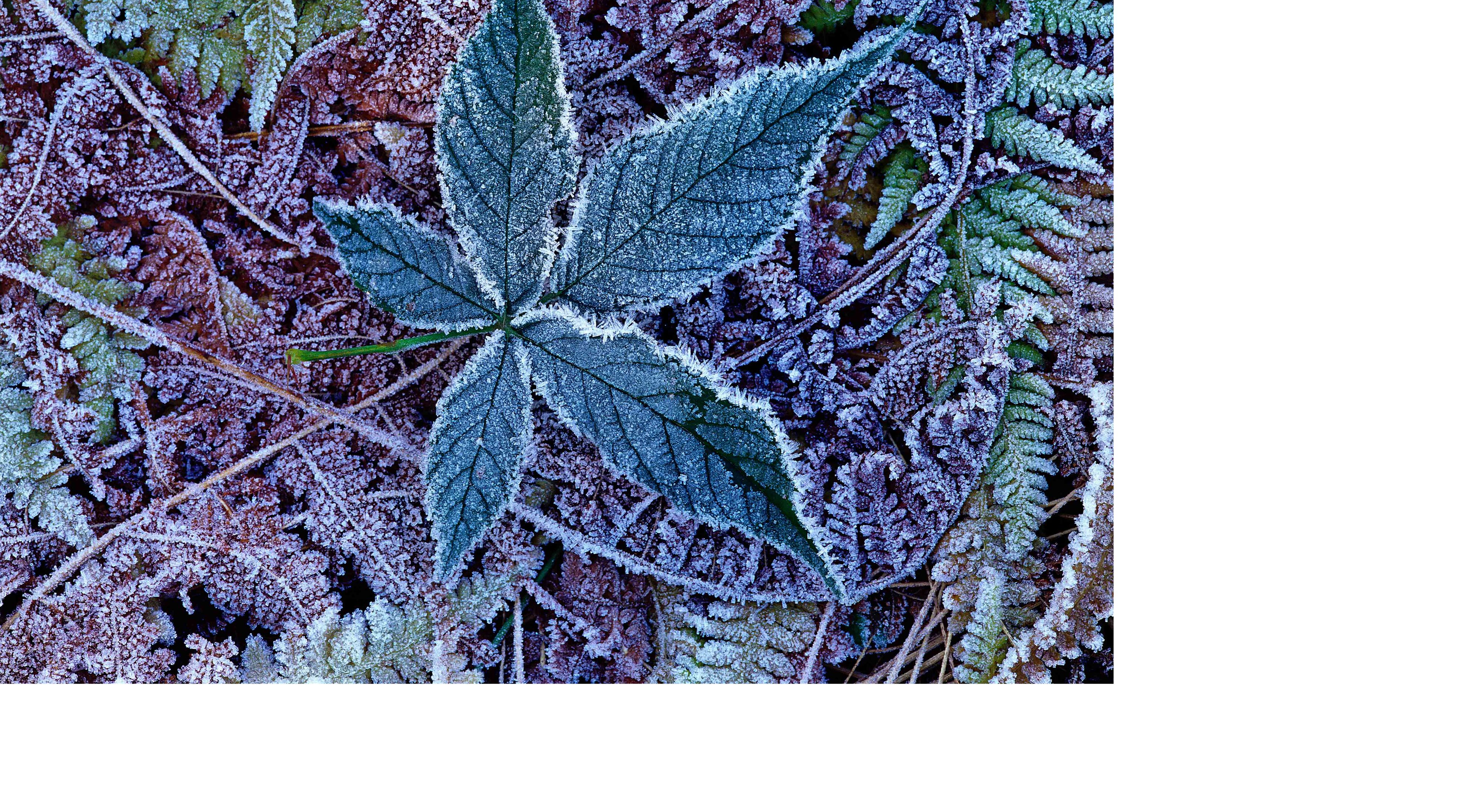 A winter leaf is dusted with frost.