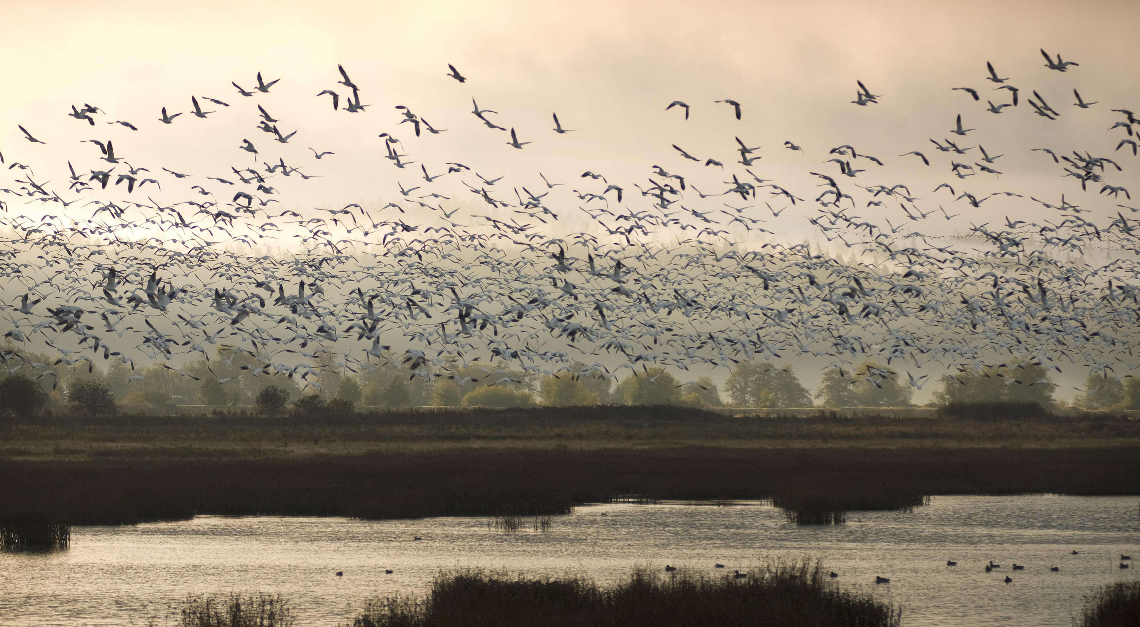 Hundreds of birds fly over Port Susan Bay in Washington State during sunset.