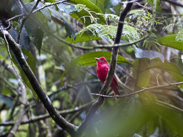 Summer Tanager (Piranga rubra) in Colombia.