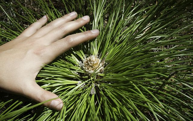 Photo of a hand over a young longleaf pine seedling.