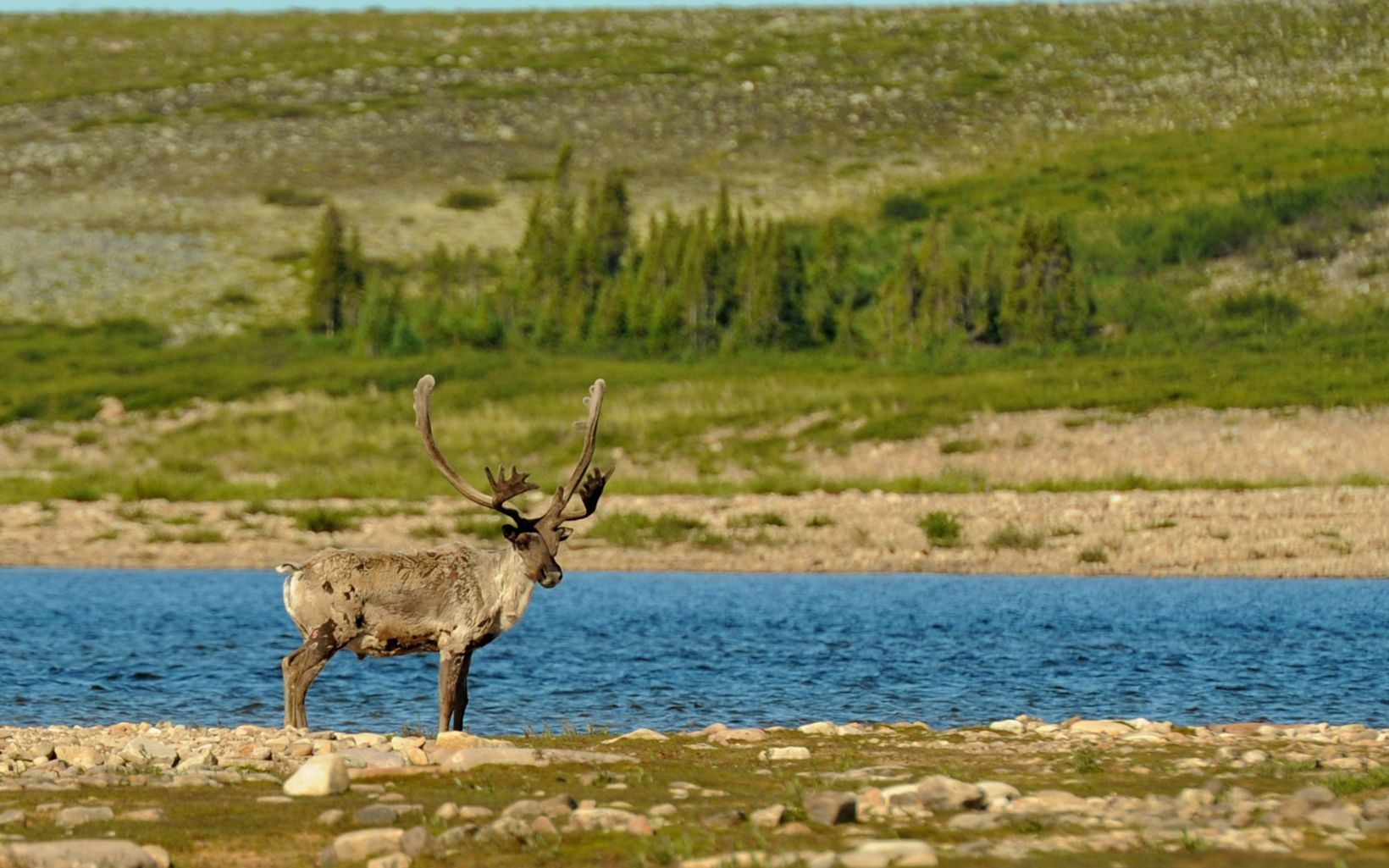 Canada's Boreal is the only place on Earth where you can find forest-dwelling woodland caribou.
