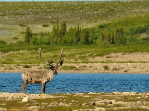 a caribou on yellow-green grasses near a wetland