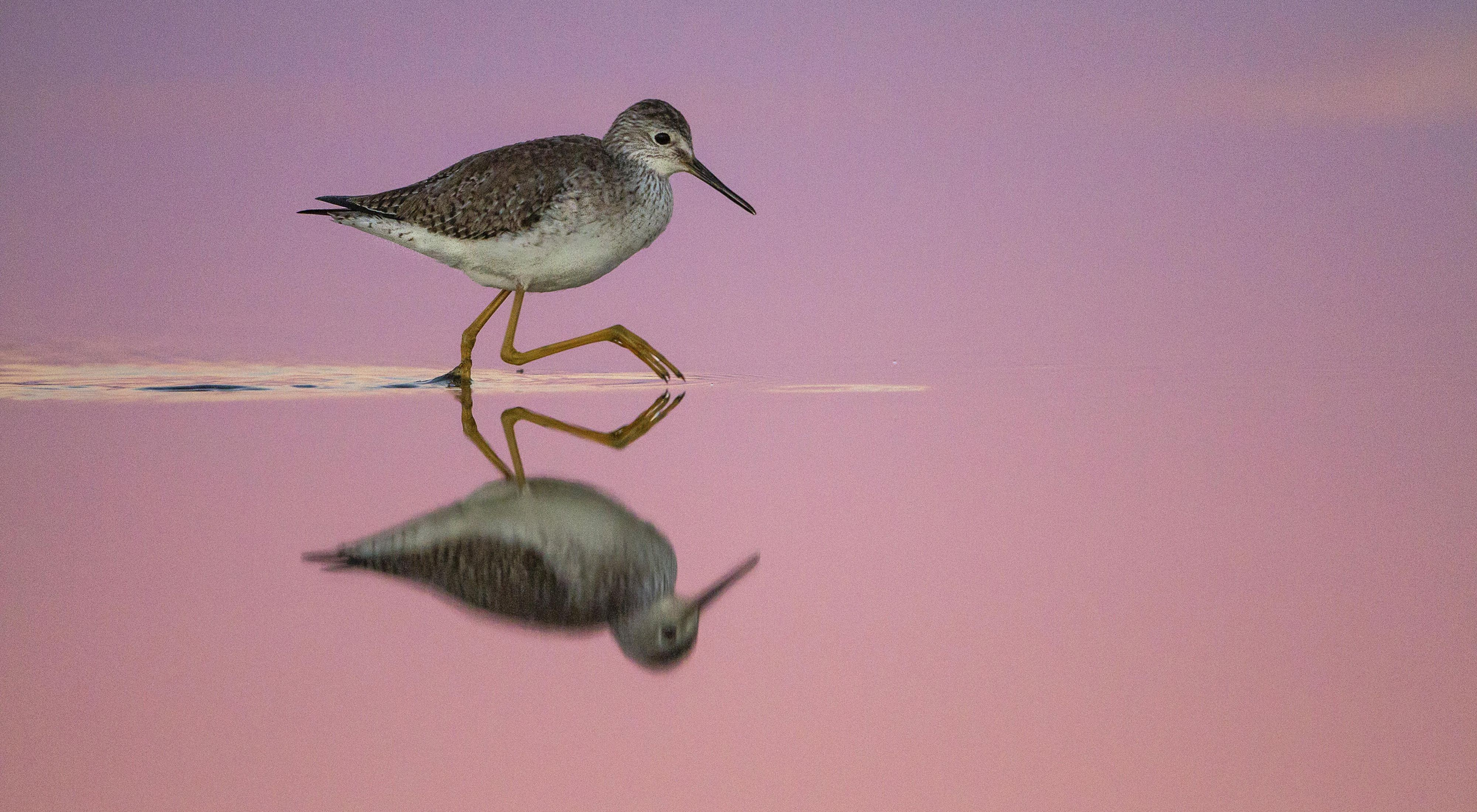 a small bird walks through water reflecting the pink colors of sunrise
