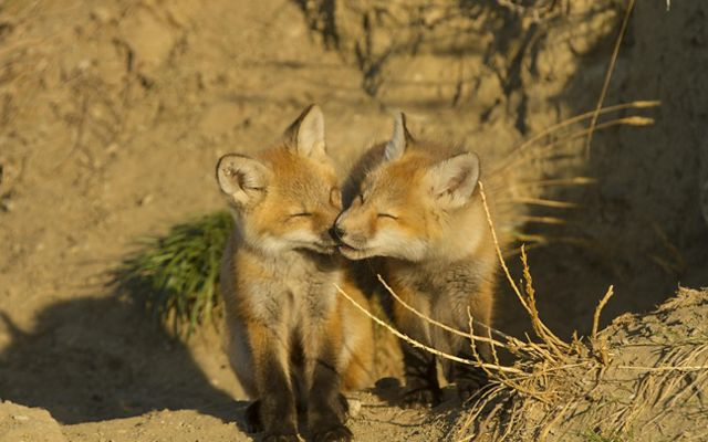 Two red fox pups are touching noses.