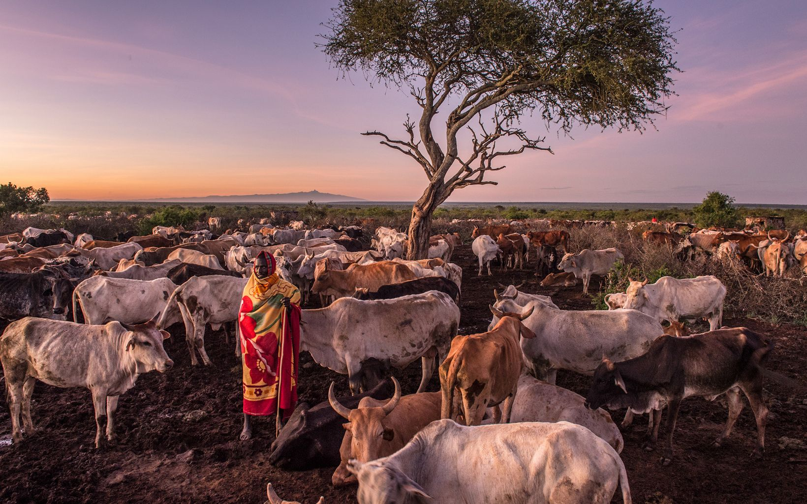 Sakakei Naiptari prepares to milk his cows at Loisaba Conservancy.