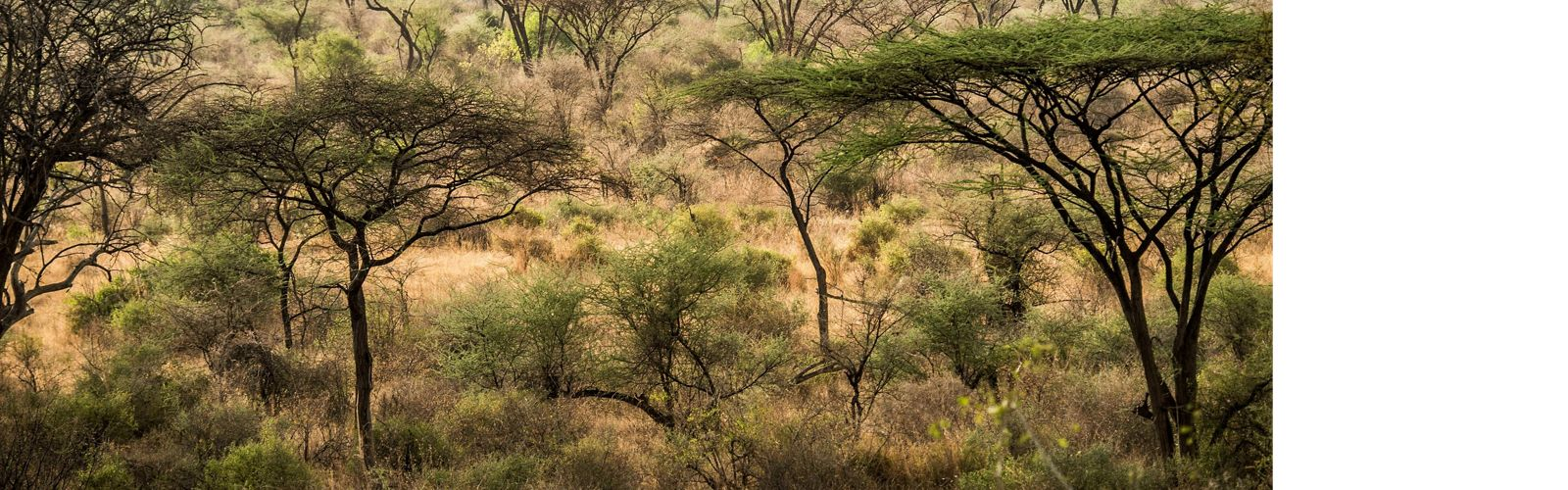 small acacia trees dot a grassland landscape, forming a pattern of trees in greens and browns