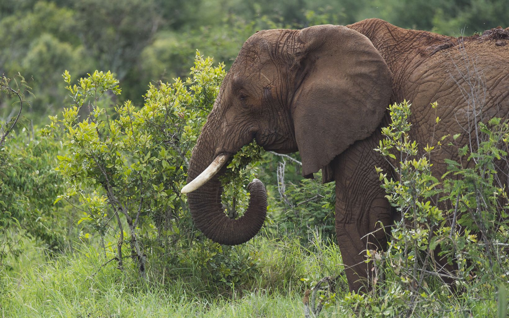 Elephant in the Loisaba Conservancy.