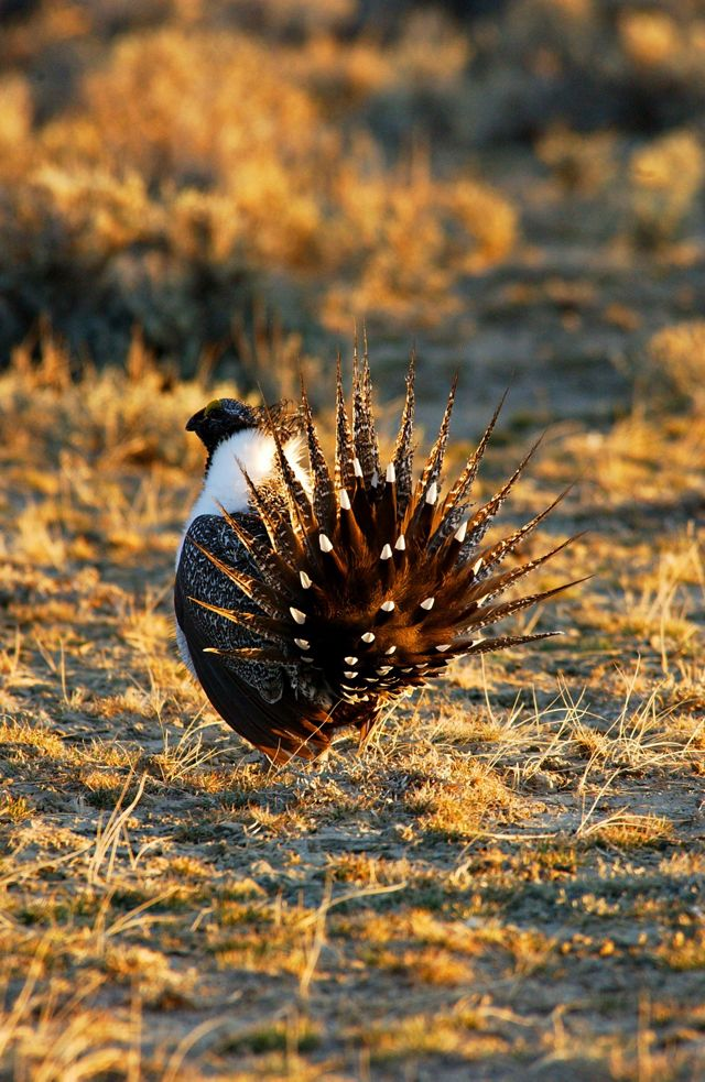 TNC scientists simulate future development and measure the effectiveness of conservation actions for maintaining sage grouse populations.