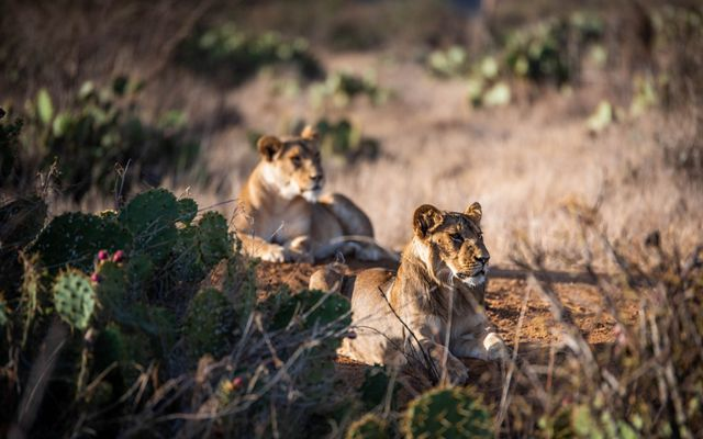 Lions resting in Laikipia County, Kenya.