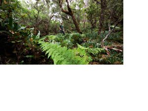 Native ferns, staff in Preserve