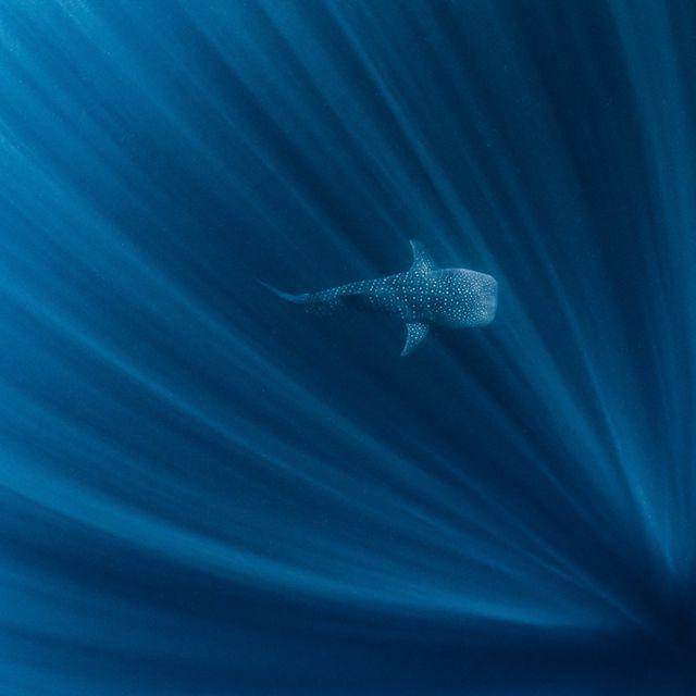 A Whale Shark Ningaloo Reef, Western Australia