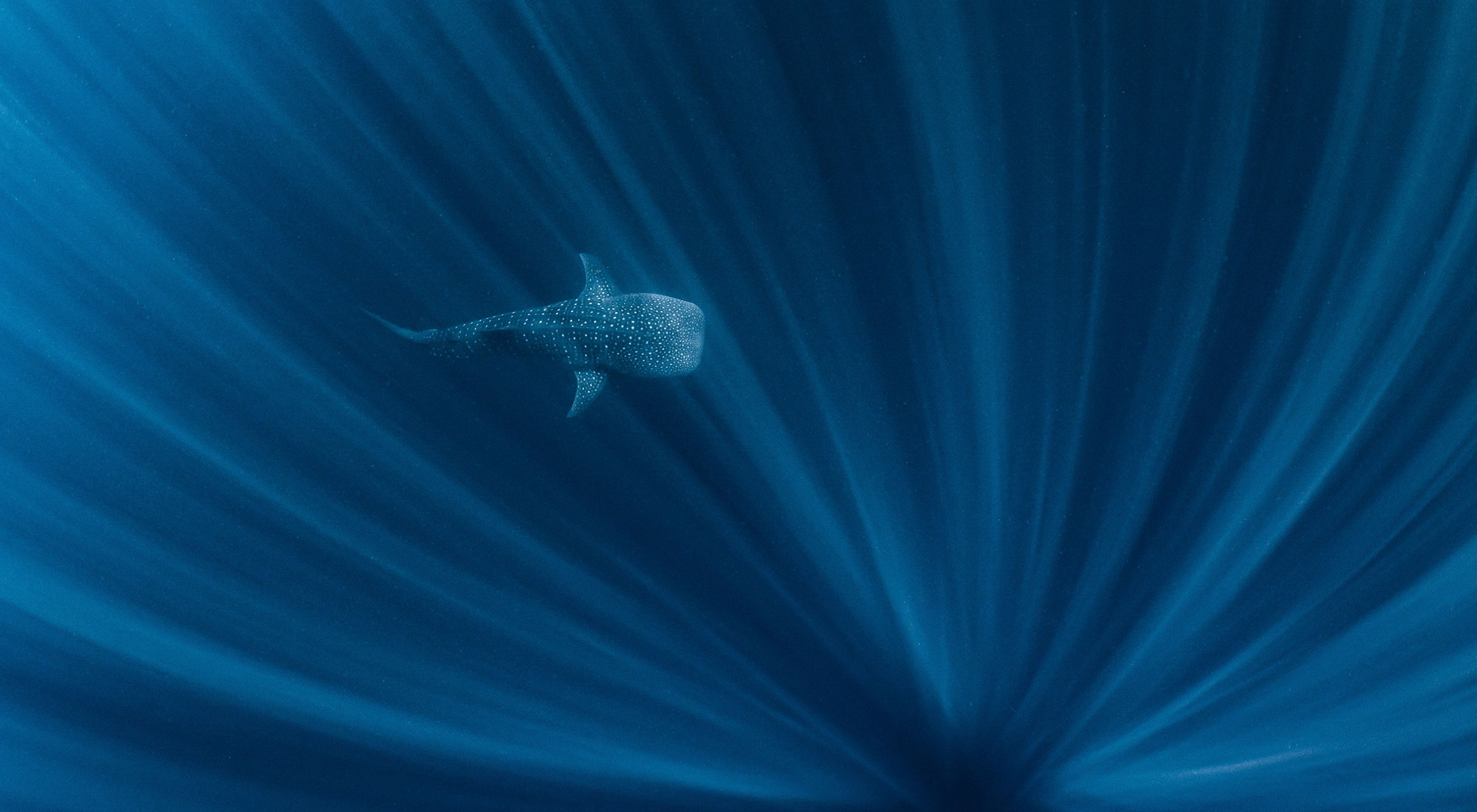 A whale shark swimming in the depths off of Ningaloo Reef, Western Australia.