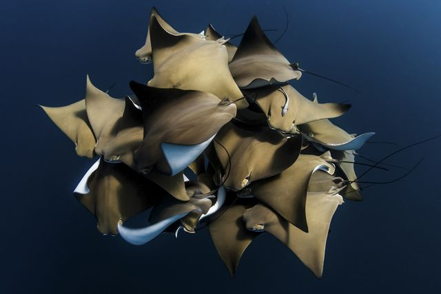 A large grouping of Cownose Rays (Rhinoptera bonasus) taken on Ningaloo Reef, Western Australia.