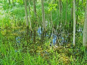 Wetlands can help solve some of the most pressing water problems facing us today and can be very difficult (sometimes impossible) to regain once lost.